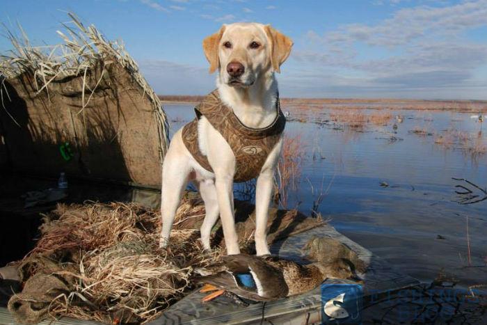 охота на утку с собаками