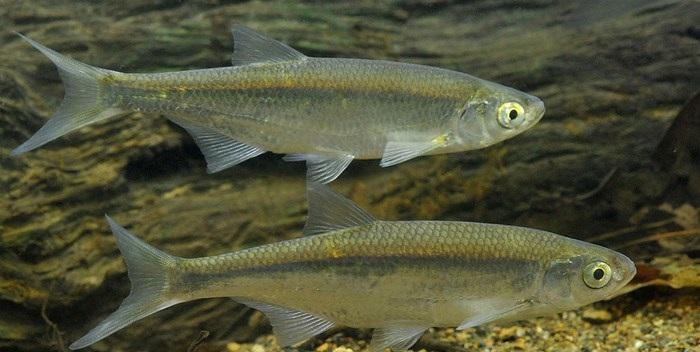 Рыба уклейка описание и фото