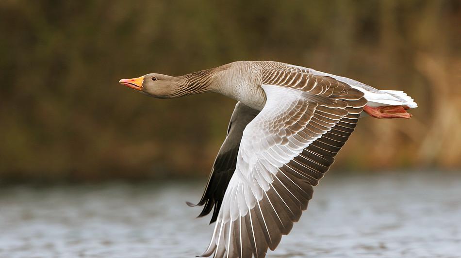 охота на гуся из засидки