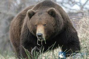 медведь на овсах1