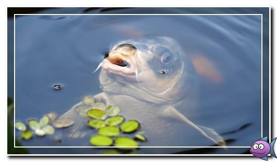 рыба на поверхности воды