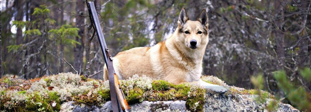 охота на дичь с лайкой