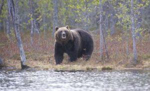 Охота-на-медведя-осенью