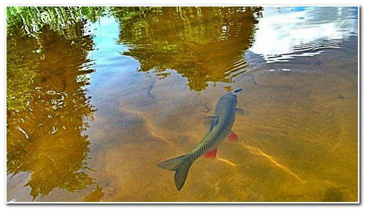 голавль на реке