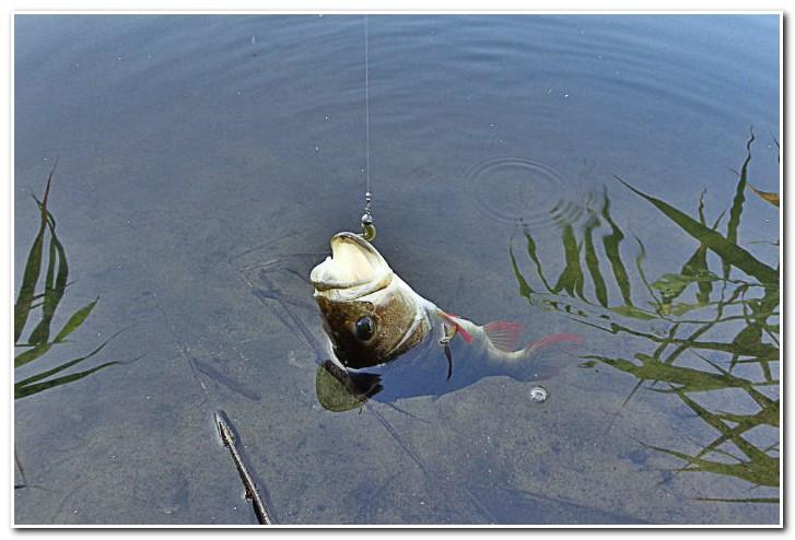 ловля окуня на отводной поводок