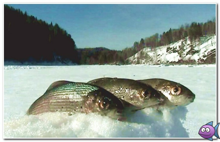 как поймать хариуса зимой