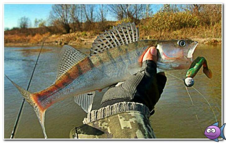 как поймать судака весной