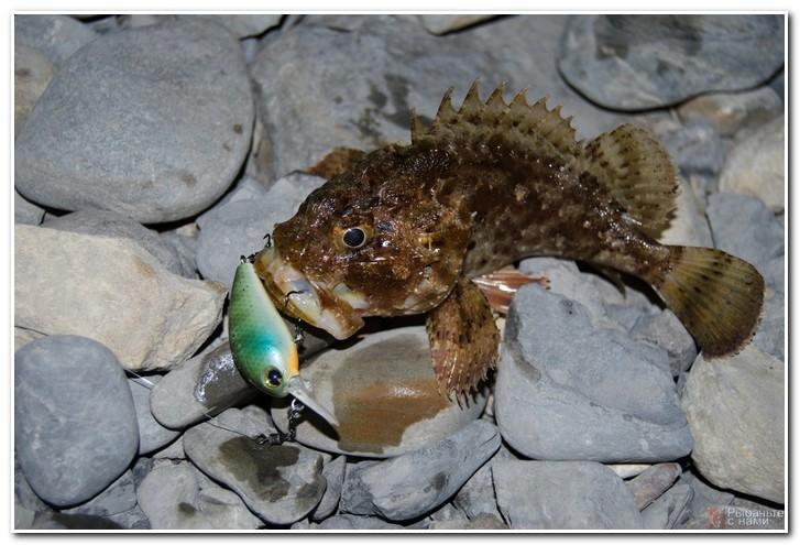 Ловля скорпены (морского ерша)