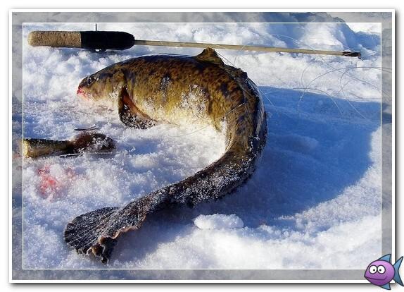 ловля-налима-зимой