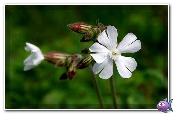 цветы белой дремы